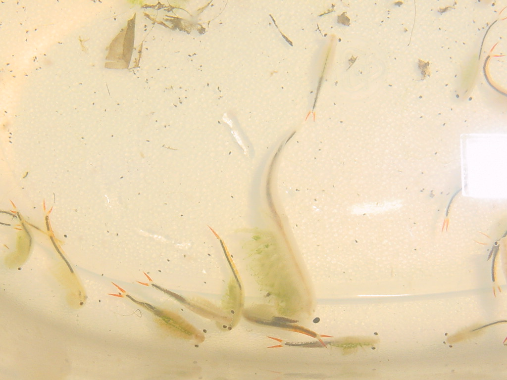 Fairy Shrimp - Petshrimp.com Discussion Forum